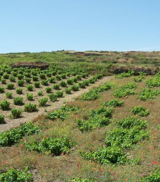 Coltivazione di vite ad alberello Pantelleria