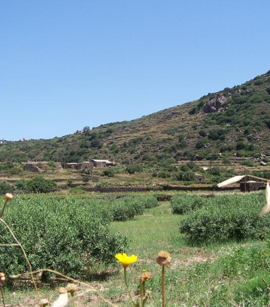 Olive grove in Pantelleria