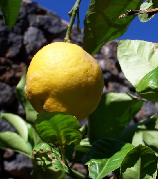 Citrus fruits from Pantelleria