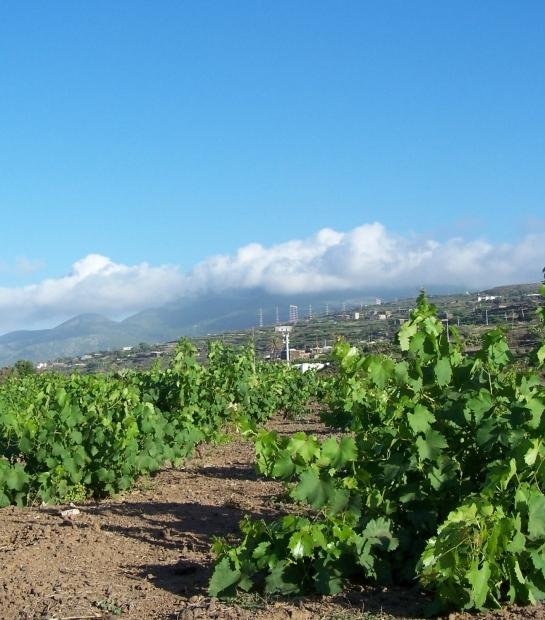 Sapling vine of Pantelleria UNESCO heritage